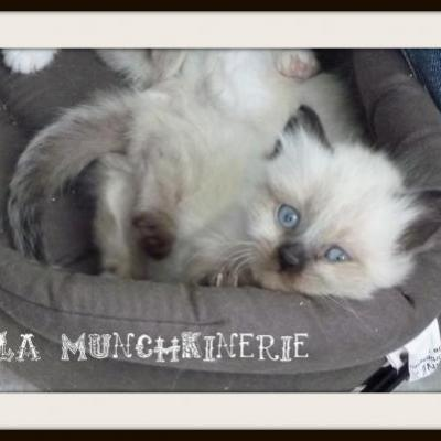 Chatons disponibles a la reservation - Prix chat munchkin ...